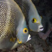Portrait of two French angelfish, face to face. Pomacanthus paru.Curacao, Netherlands Antilles. Unaltered/Uncontrolled. . Model Release: Not Applicable.