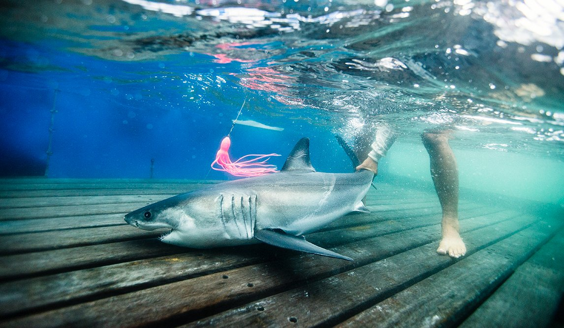 great white shark  - reefs