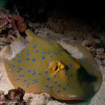 Taeniura lessoni – A New Species of Blue-spotted Stingray