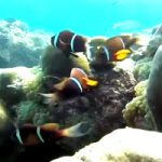 First video of the Omani Anemonefish (Amphiprion omanensis)