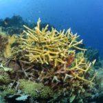 Endangered Corals, Endangered Staghorn Corals