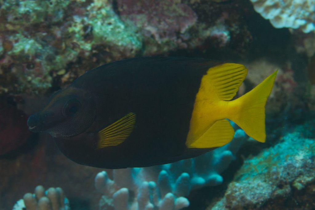 The Bicolor Rabbitfish (S. uspi), from Fiji. Credit: Mark Rosenstein