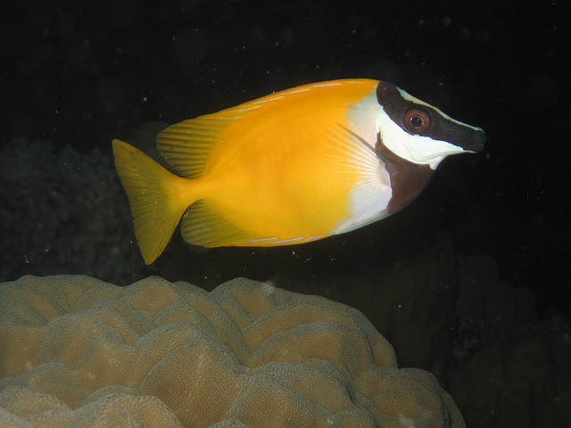 A Foxface (S. vulpinus) from Chuuk in Micronesia. It sure looks like the fish found in Indonesia and Melanesia, but is it truly the same? Credit: Dr. Dwayne Meadows, NOAA NMFS OPR