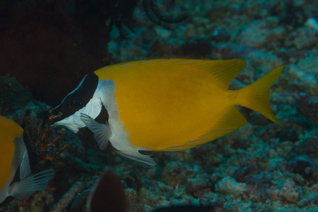 The quintessential Foxface Rabbitfish (S. vulpinus) from Komodo, Indonesia. Credit: Mark Rosenstein