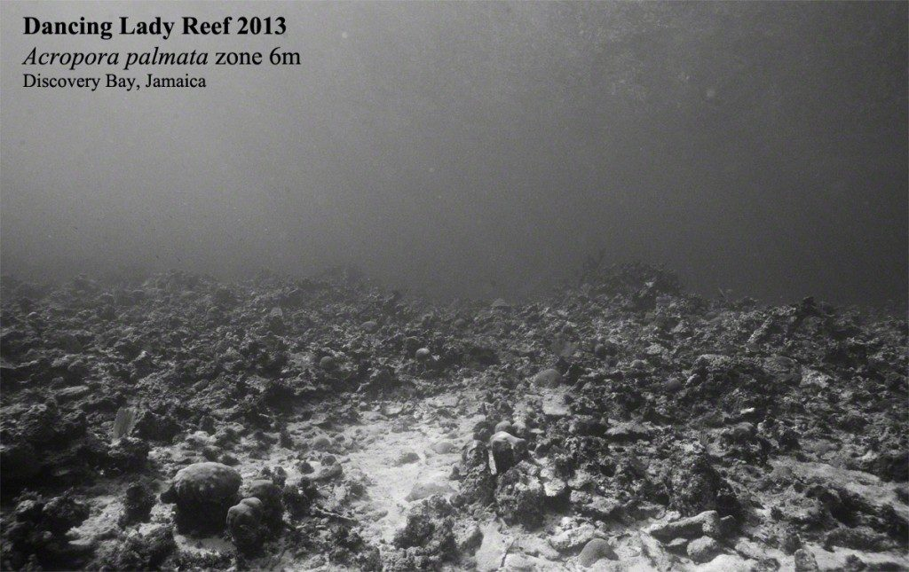 Loss of Acropora palmata cover on Dancing Lady reef, as documented by Phil Dustan.