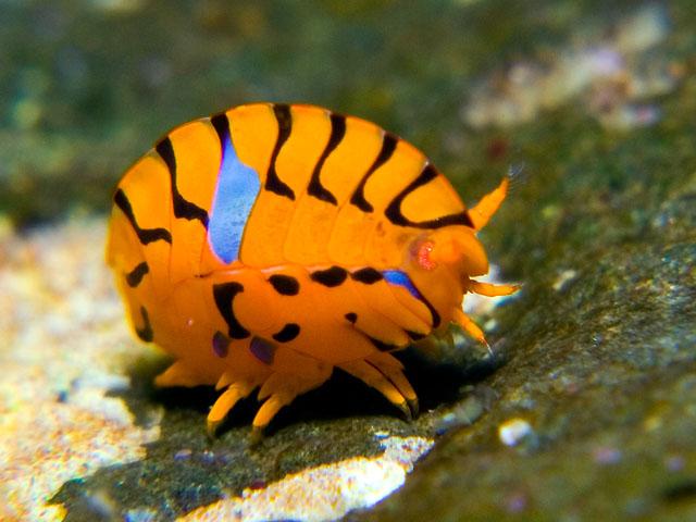 amazing amphipods reefs com