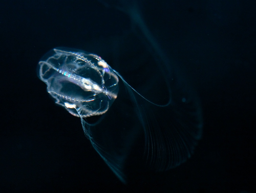 Young Mnemiopsis with juvenile tentacles deployed for feeding