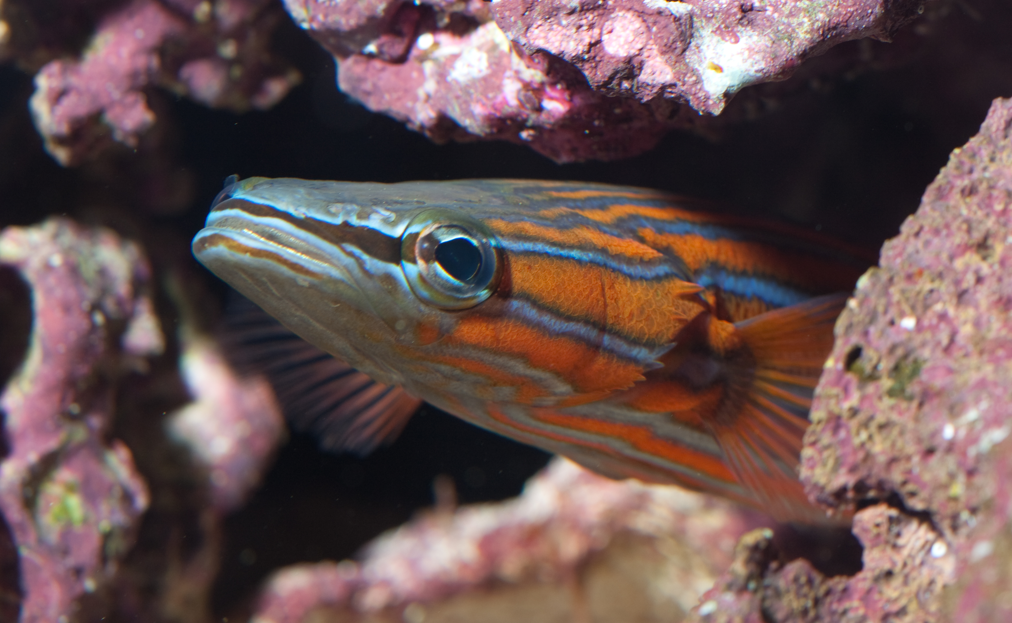 male-flathead-perch-in-broodstock-tank