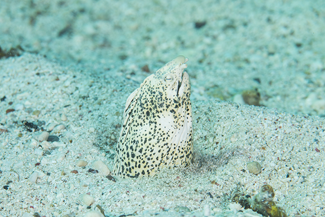 Callechelys marmorata, the Marbled Snake Eel. another fish that causes sea snake 'false alarms'.