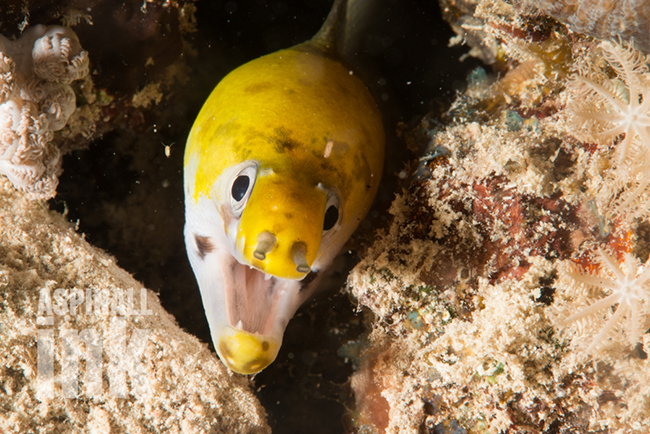Yellowhead Moray (G. ruppelliae) . At least this one is easy to ID.