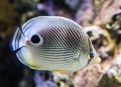 butterflyfish-reefs