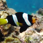 Amphiprion milii, an Endemic Anemonefish from Western Australia