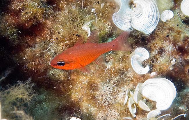corfu 06 (61) cardinal fish