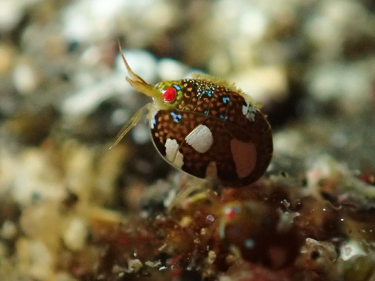 "A particularly gorgeous ""Ladybug Amphipod"" from Japan. Credit: gokai club"