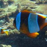 The Whitemargin Anemonefish of Northeast Madagascar