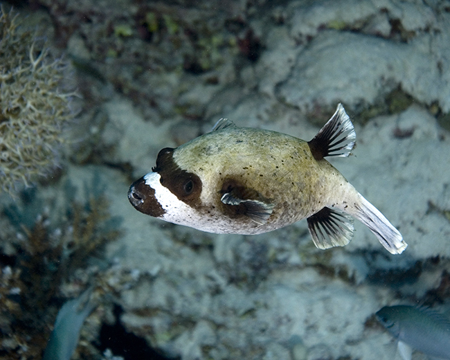 masked-pufferfish