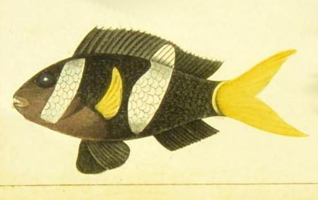 Amphiprion milii holotype illustration. From Bory de Saint-Vincent, 1831. Dictionnaire Classique d'Histoire Naturelle. v. 17, Plate 113, fig. 2