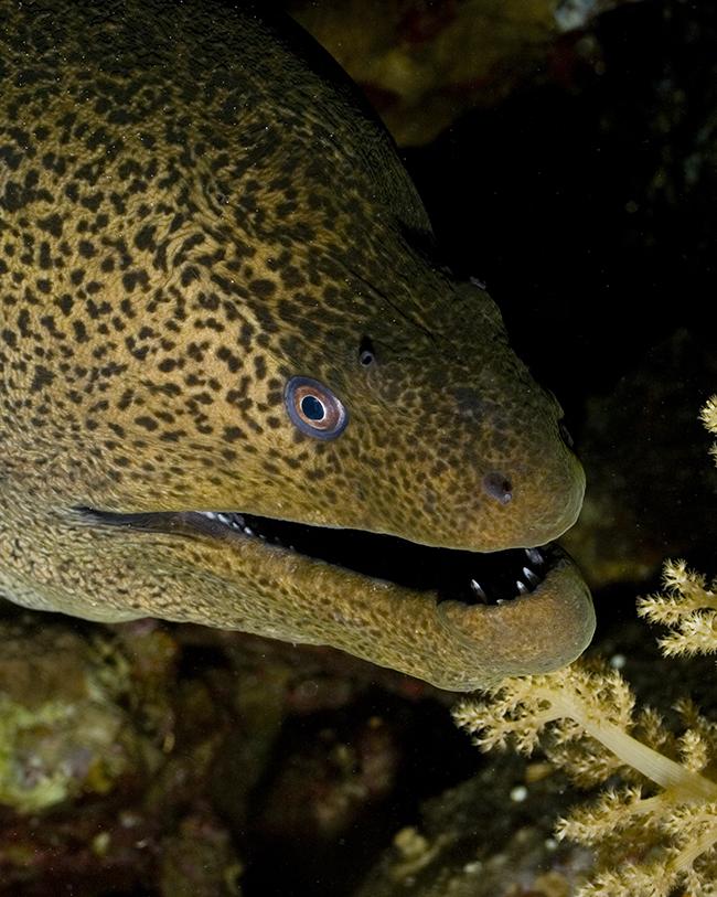G. javanicus. this fish is truly huge