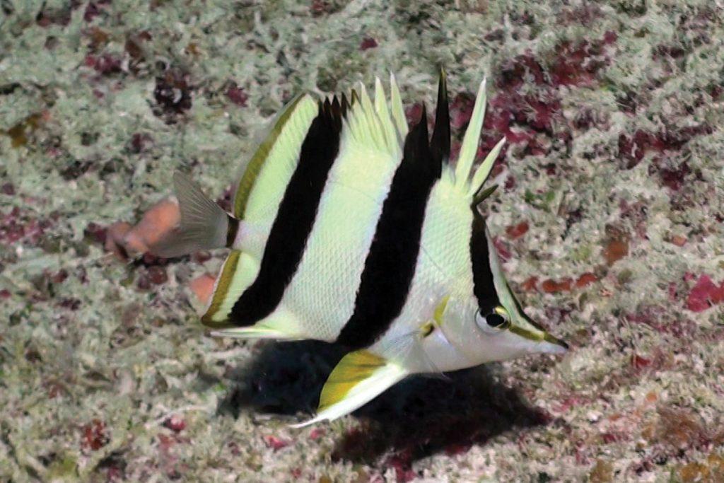 Orange Margin Butterflyfish Prognathodes basabei. Credit: Pyle & Kosaki 2016