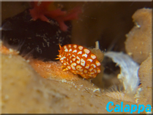 Postodius sp. from Okinawa. Credit: Calappa