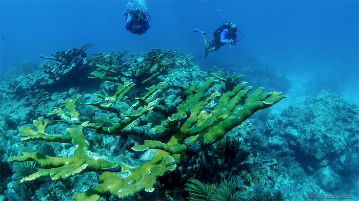 One of the last stands of Elkhorn coral in the Florida Keys, Molasses Reef, and it shows signs of stress. Elkhorn and Staghorn coral used to dominate this underwater environment. Photo by Rich Ross.