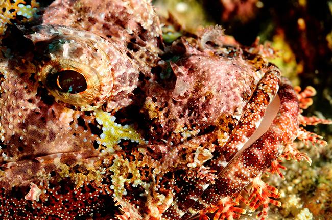 scorpionfish-reefs