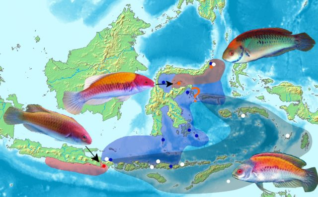 An updated distribution map for this group. Cirrhilabrus randalli and C. luteovittatus have been left off.