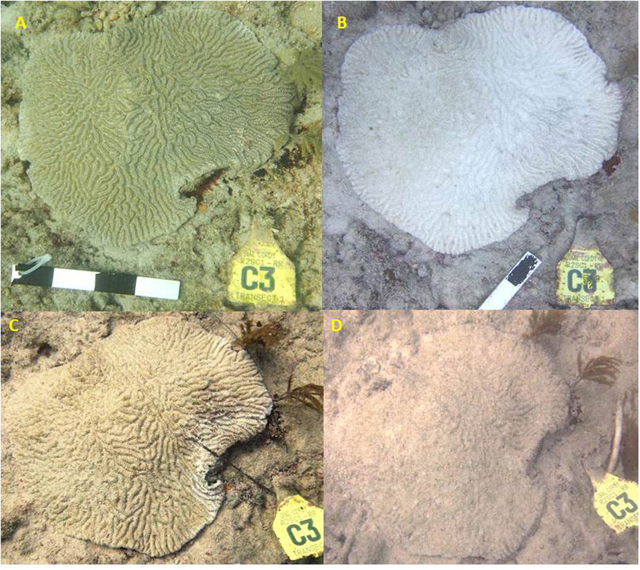 Time series of Meandrina meandrites off of Virginia Key, Florida succumbing to White Plague type II in the span of three months. Source: http://www.nature.com/articles/srep31374/figures/3