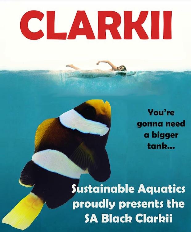 sustainable-black-clarkii-clownfish1