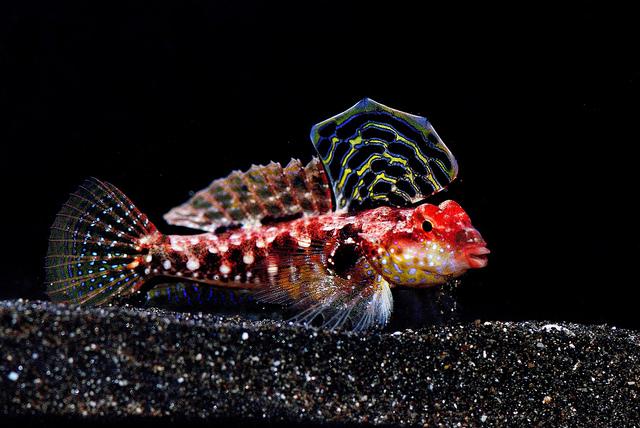 Synchiropus tudorjonesi, a seldom seen dragonet. Credit: LemonTYK