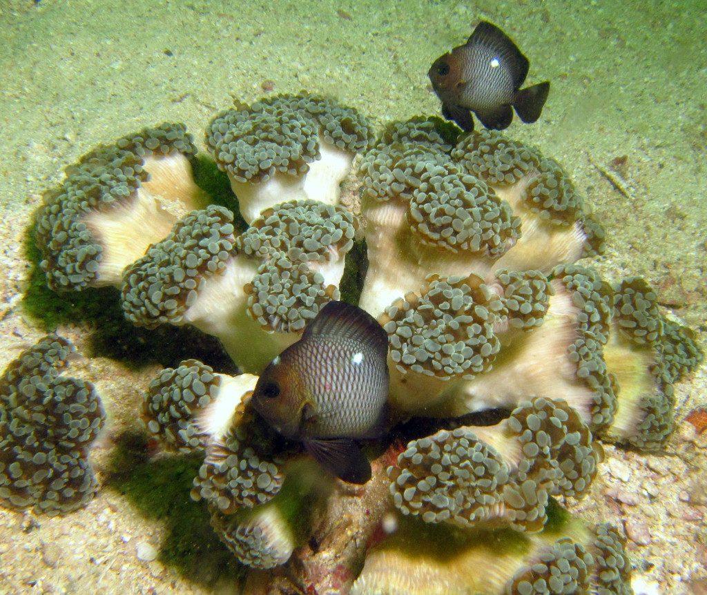 Darker specimens from Musandam, Oman. Credit: Keith Wilson