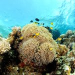 Domino Damsels and Anemones