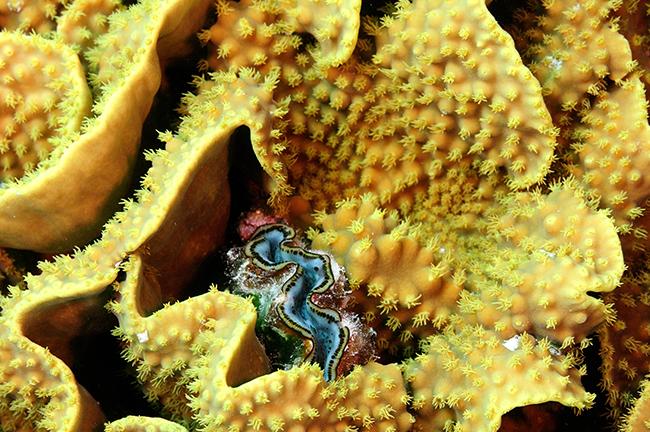 rca_3193-clam-in-turbinaria