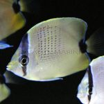 Quality Marine Receives the First Captive Bred Lemon Miliaris Butterflies (Chaetodon miliaris)