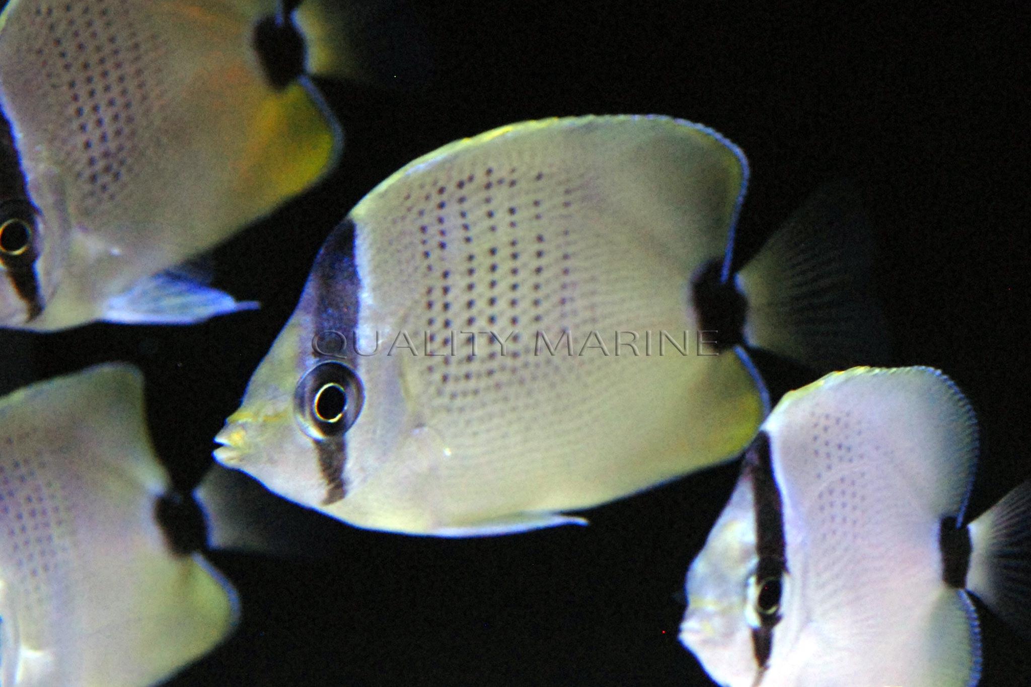 Image AC-Lemon-miliaris-butterflyfish-6.jpg