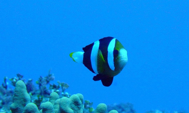 Yellowtip Anemonefish from Pagan, the northernmost record of this species thus far. Credit: Paula Ayotte / NOAA