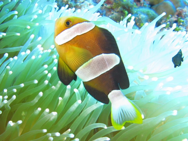 A male Yellowtip Anemonefish from Saipan. Note the yellow caudal fin tip, the dark ventral fins and the wide middle bar. Credit: Ace Tomato