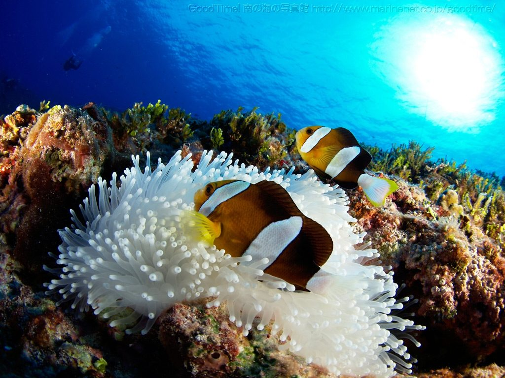 A non-melanistic pair of the Yellowtip Anemonefish, seen at Saipan. Credit: Goodtime
