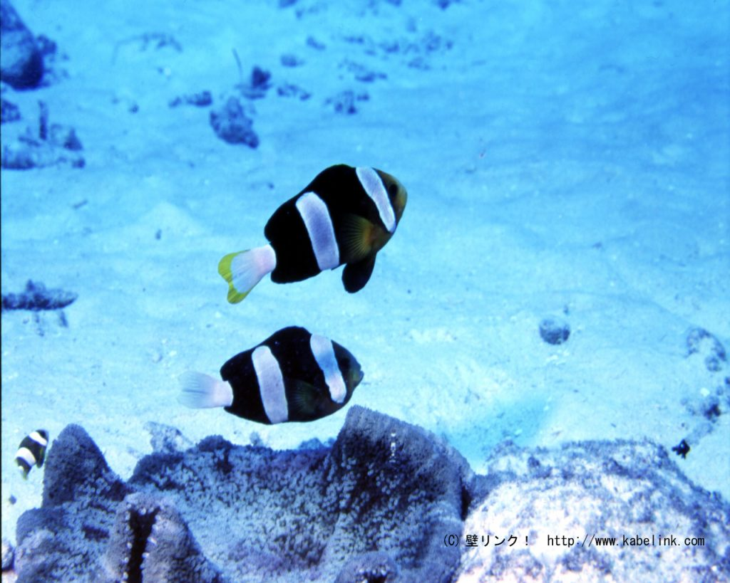 A melanistic pair of Yellowtip Anemonefish, from Saipan. Credit: kabelink
