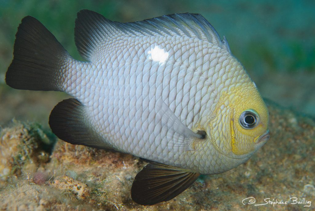 Note the yellowish head and dark fins. Credit: Stephane Bailliez