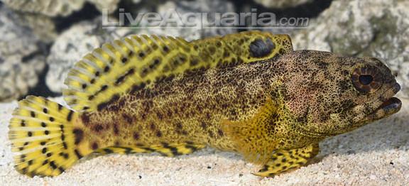 darwin-jawfish-revised