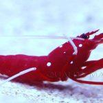 Quality Marine Receives Aquacultured Fire Shrimp (Lysmata debelius)