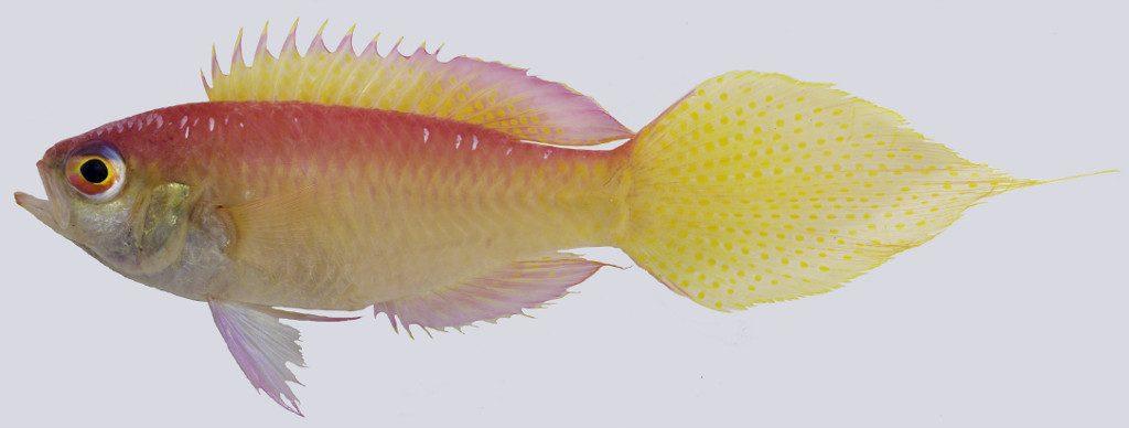 Brianne's Groppo (Grammatonotus brianne). Credit: Anderson et al 2016