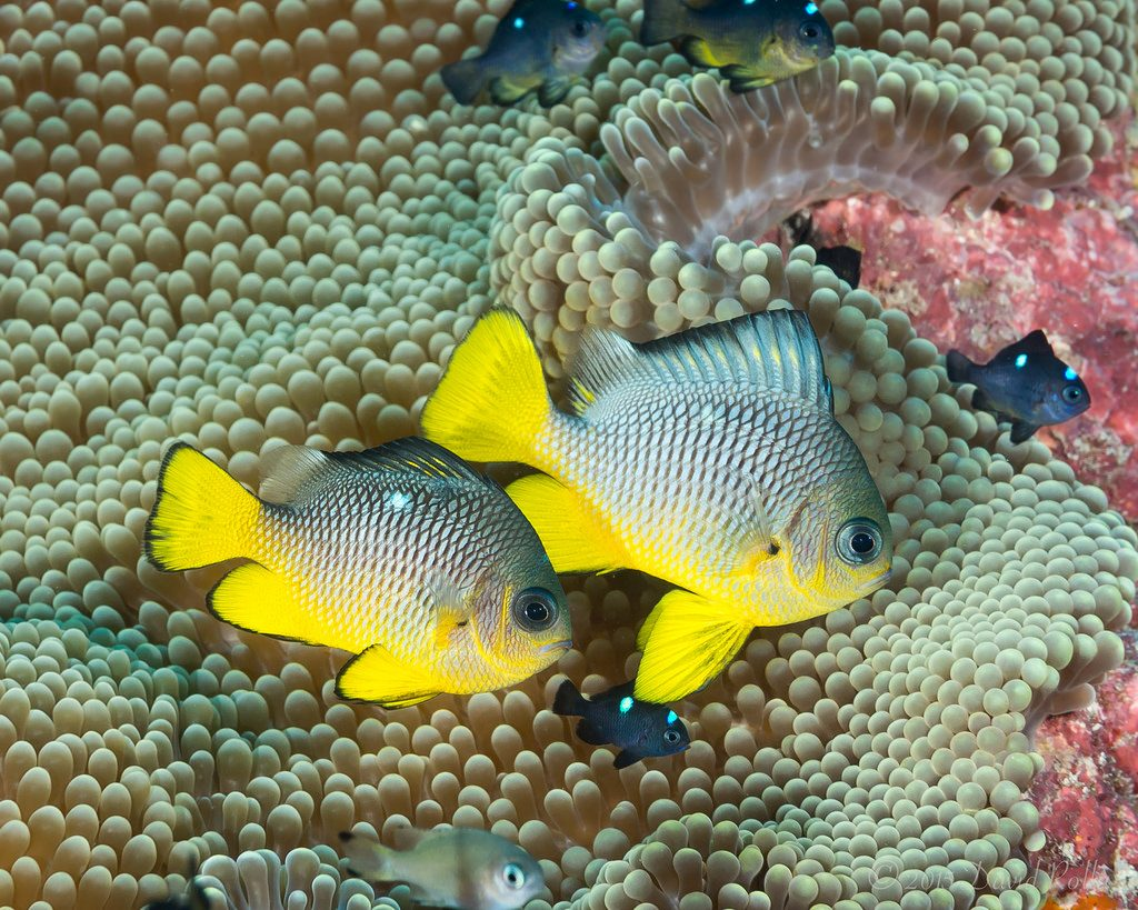 Cryptic Species of Domino Damselfish (Part 3) - Reefs.com