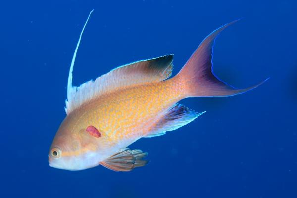 Pseudanthias nobilis, from Kushimoto, Japan. Credit: KDP Diving