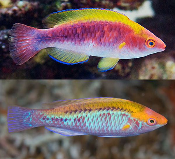 Male C. cf lubbocki are themselves highly variable. The reflective blue margins of the scale can be highly developed (right, Palau) or mostly absent (left, aquarium). Credit: Takaaki Kuramitsu, Kazu