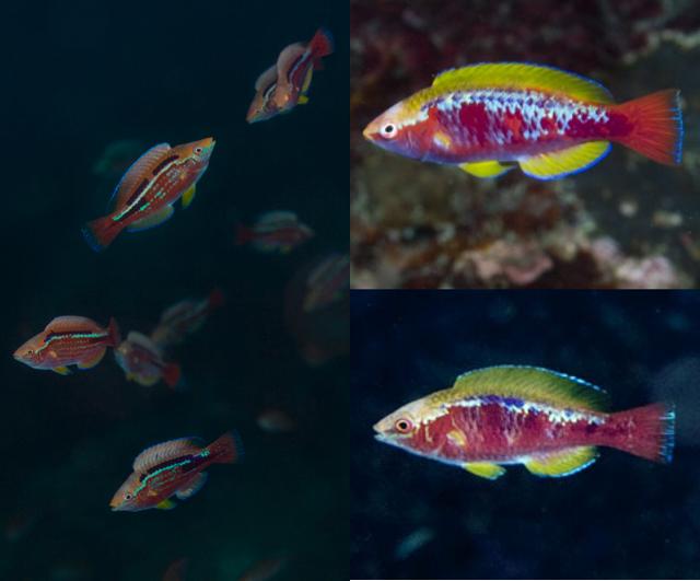 Comparison of nuptial displays. Left: C. lubbocki, Cebu. Right: C. cf lubbocki, Komodo. Credit: Garuda Kazunori, Hiro