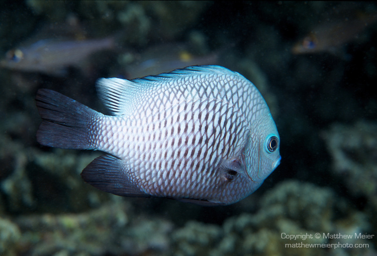 White specimens seem to be less common in this species. From Moorea. Credit:  Matthew Meier