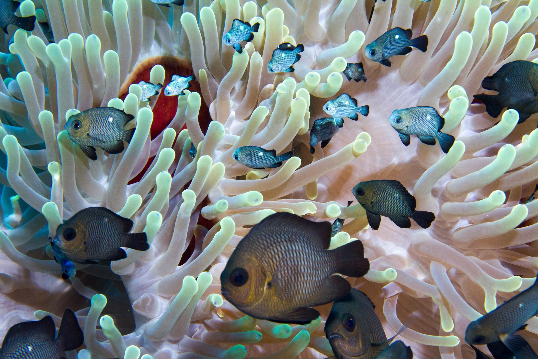Dascyllus trimaculatus, Red Sea. Credit: Plongez Pepere