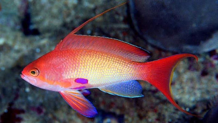 Pseudanthias squamipinnis, from Sodwana, South Africa. Note the yellow caudal fin margin and unique pattern of the pectoral fins. Credit: Dennis Polack